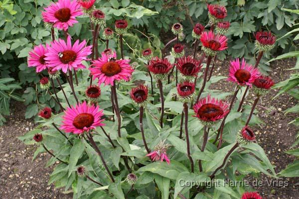 echinacea purpurea 39 fatal attraction 39. Black Bedroom Furniture Sets. Home Design Ideas